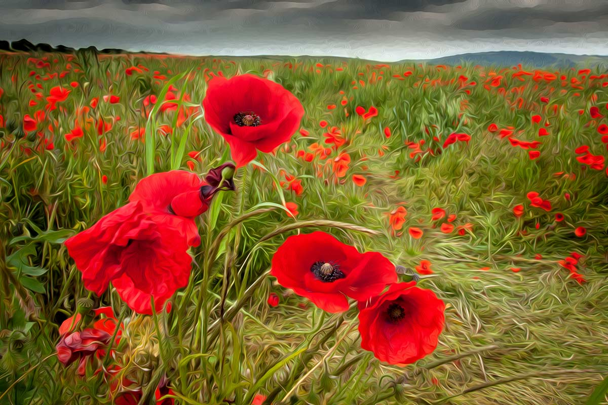 how to draw a poppy flower in a field
