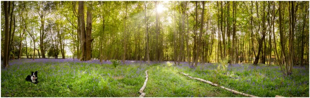 Bluebell-Pano